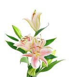 Beautiful Lily flowers Stock Images