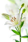 Beautiful lily flowers, isolated on white Stock Photography