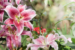 Beautiful lily in garden Royalty Free Stock Photography