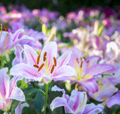 Beautiful lily on the garden Royalty Free Stock Photo