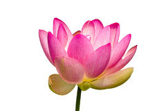 Beautiful Lily isolated Royalty Free Stock Photography