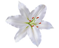 Beautiful lily isolated on white background Royalty Free Stock Image