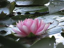 Beautiful lily pad. On a gloomy day, you can always count on a lily pad to cheer you up Royalty Free Stock Photography
