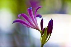 Beautiful Lily Stock Photos