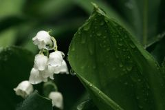 Beautiful lily of the valley Royalty Free Stock Photography