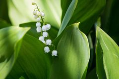 Beautiful lily of the valley in bright green grass. Lily of the valley closeup. Wild spring flowers concept. stock image