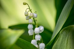 Beautiful lily of the valley in bright green grass. Lily of the valley closeup. Wild spring flowers concept. royalty free stock images