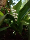Beautiful lily of the valley by the tree stock photos