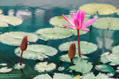 Beautiful lily in the water Royalty Free Stock Photography