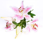 Beautiful lily on white Stock Photography