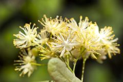 Beautiful linden flowers. Beautiful yellowish linden flowers, collected in a bouquet, used in medicine and tea making, closeup stock photos