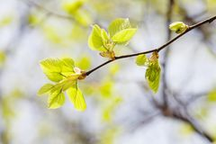 Beautiful linden tree branch with young fresh green leaves. Springtime in park landscape. Macro view shallow depth of Royalty Free Stock Photos