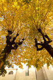 Beautiful  linden trees in fall. Yellow foliage Stock Photos