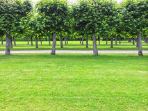 Beautiful linden trees in the summer park Stock Images
