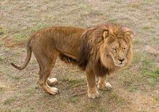 The Beautiful Lion Royalty Free Stock Photos