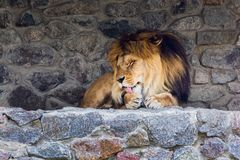 A beautiful lion with big mane lies on the rocks and licks his paw. King of animals. Wild nature. Predator. Danger animal royalty free stock photography