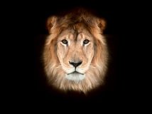 Beautiful lion. On a black background Royalty Free Stock Photography