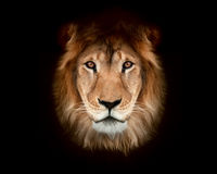 Beautiful lion Stock Image