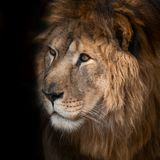 Beautiful lion. On a black background Royalty Free Stock Images