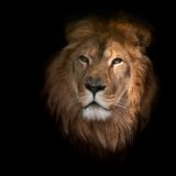 Beautiful lion. On a black background Stock Photos