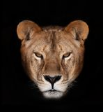 Beautiful lion. On a black background Royalty Free Stock Image