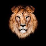 Beautiful lion Stock Images