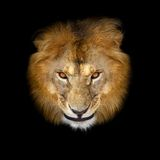 Beautiful lion. On a black background Stock Images