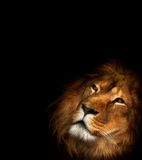 Beautiful lion. On a black background Royalty Free Stock Photo