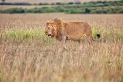Beautiful lion in the bush at the masai mara Stock Photo