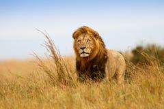 Beautiful Lion Caesar. In the golden grass of Masai Mara, Kenya stock photos