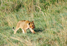 A beautiful lion cub in  the grassland Stock Photo