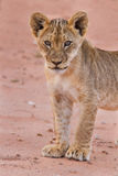 Beautiful lion cub on kalahari sand Royalty Free Stock Photos