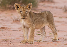 Beautiful lion cub on kalahari sand stock images
