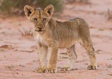 Free Beautiful Lion Cub On Kalahari Sand Stock Images - 32568944