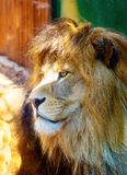 Beautiful Lion face, profile portrait. blur background. Royalty Free Stock Image