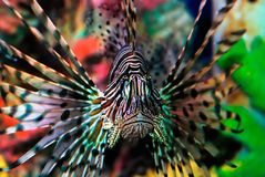 Beautiful lion fish royalty free stock photo