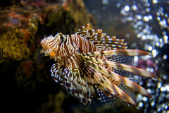 Beautiful Lion Fish Pterois Swimming Alone in a Big Aquarium Stock Photography