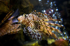 Beautiful Lion Fish Pterois Swimming Alone in a Big Aquarium Royalty Free Stock Photos