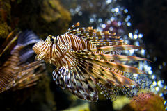 Beautiful Lion Fish Pterois Swimming Alone in a Big Aquarium Royalty Free Stock Photography