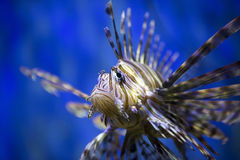 A beautiful lion fish. Swimming in blue water Royalty Free Stock Photos
