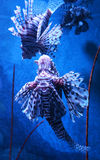 Beautiful lion fish. Swimming on a sea on aquarium royalty free stock images