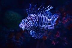 Beautiful lion fish. Swimming on a sea on aquarium royalty free stock photos