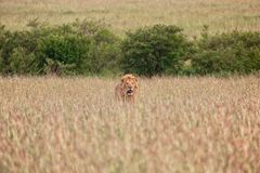 Beautiful lion at the masai mara Stock Photos