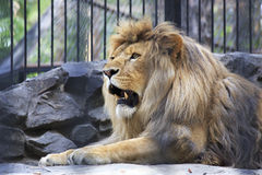 Beautiful lion with open mouth in the aviary. Novosibirsk Zoo. Russia Stock Images