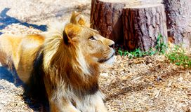 Beautiful Lion resting in the sunshine. blur background. Stock Image