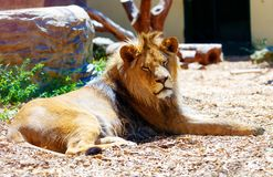 Beautiful Lion resting in the sunshine. blur background. Stock Photos