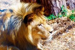 Beautiful Lion resting in the sunshine. Profile portrait. Beautiful Lion resting in the sunshine. Profile portrait Royalty Free Stock Photo