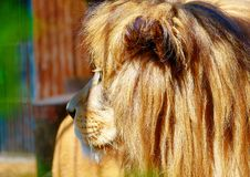 Beautiful Lion resting in the sunshine. Profile portrait. Royalty Free Stock Photo