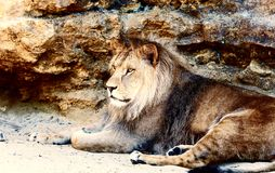 Beautiful Lion resting in the sunshine. rock background. Royalty Free Stock Images