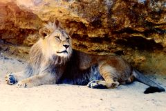 Beautiful Lion resting in the sunshine. rock background. Stock Photography